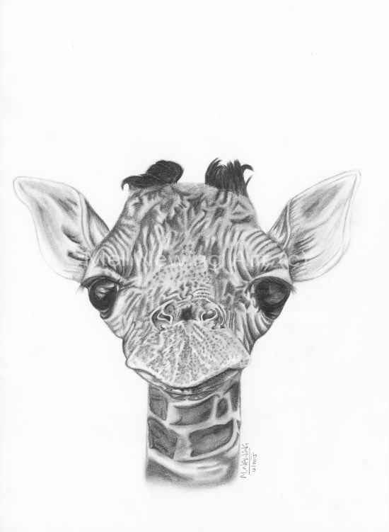 Graphite pencil drawing of a baby giraffe.