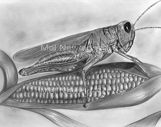 Grasshopper drawing in pencil sat on sweetcorn.