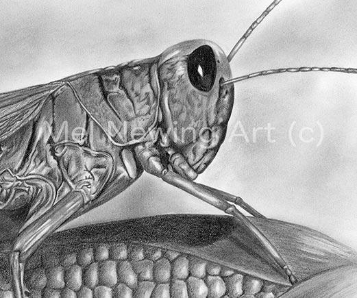 Close up of the grasshopper
