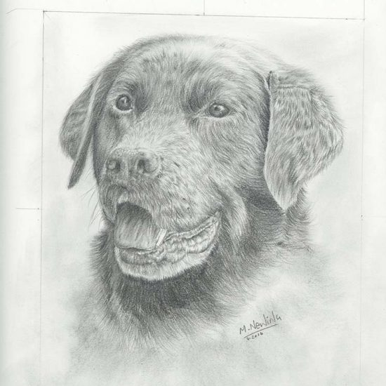 Pencil study of a chocolate labrador.