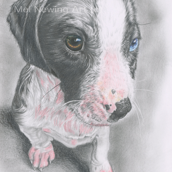 Graphite and pastel pencil pet portrait commission
