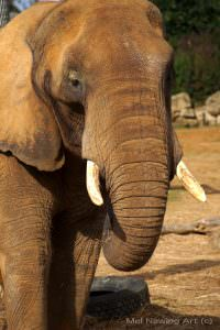 African Elephant at Colchester Zoo photo