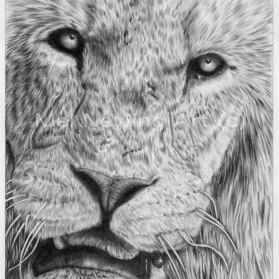 Final photo of the completed Lion drawing.
