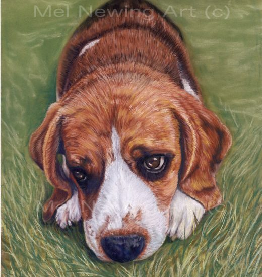 Beagle drawn using pastels