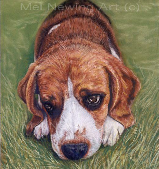 Beagle drawn using pastels