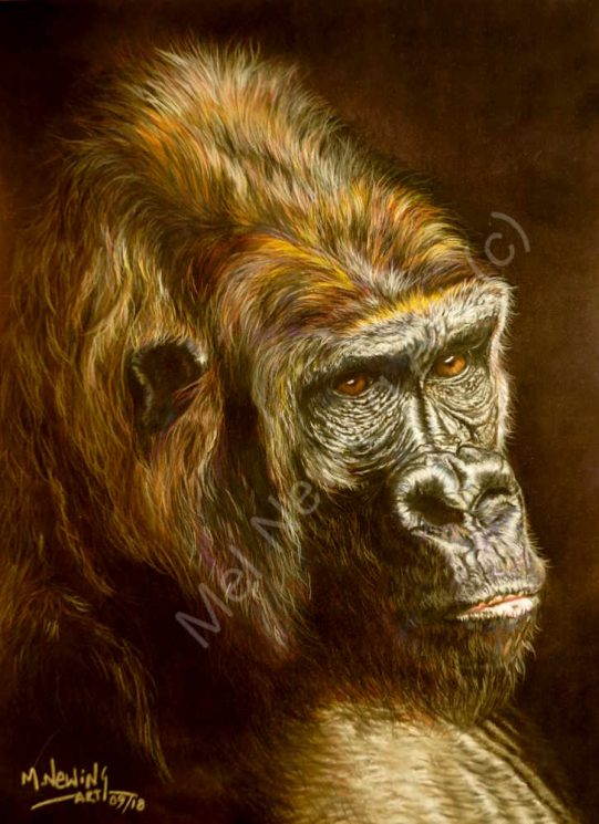 Mountain gorilla drawn with pastels as part of the Endangered Species collection